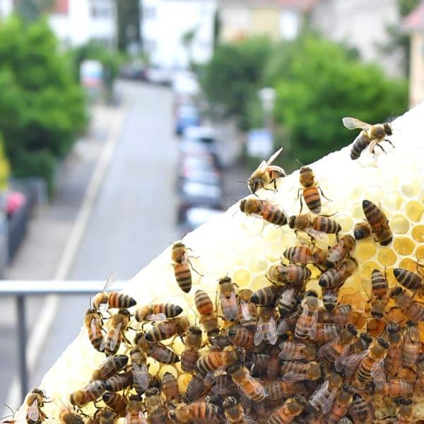 Heim für Bienen: Stadtimker in Göttingen